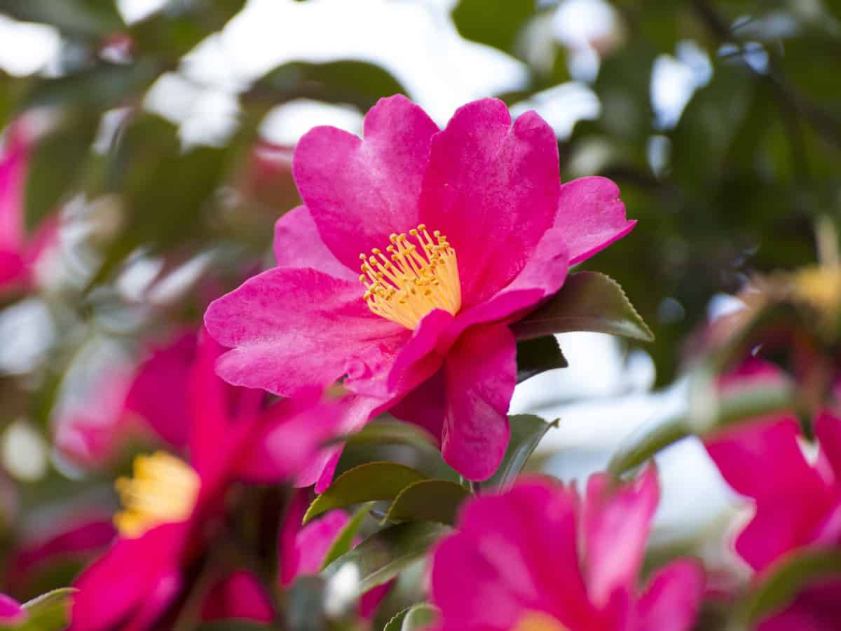 choose a camellia for a beautiful privacy hedge