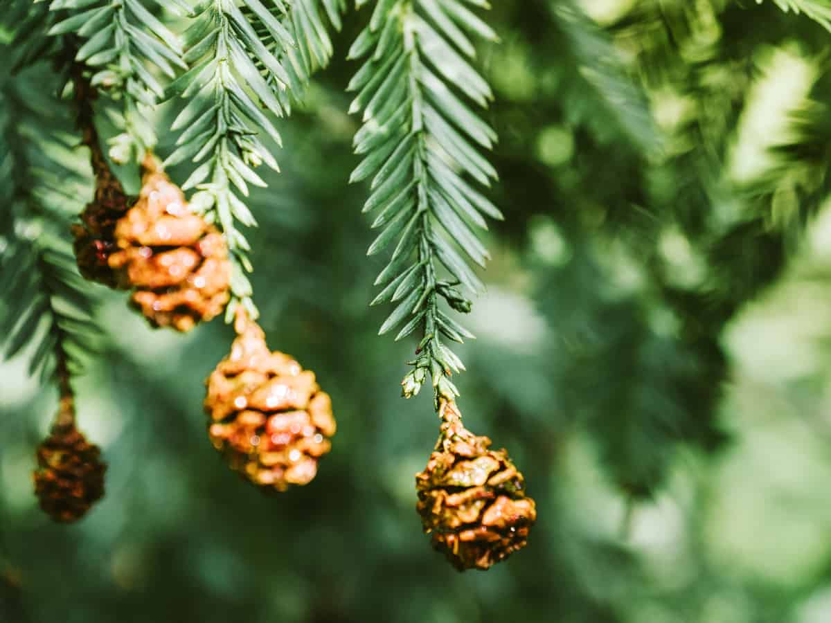 Canadian hemlock is a charming small tree
