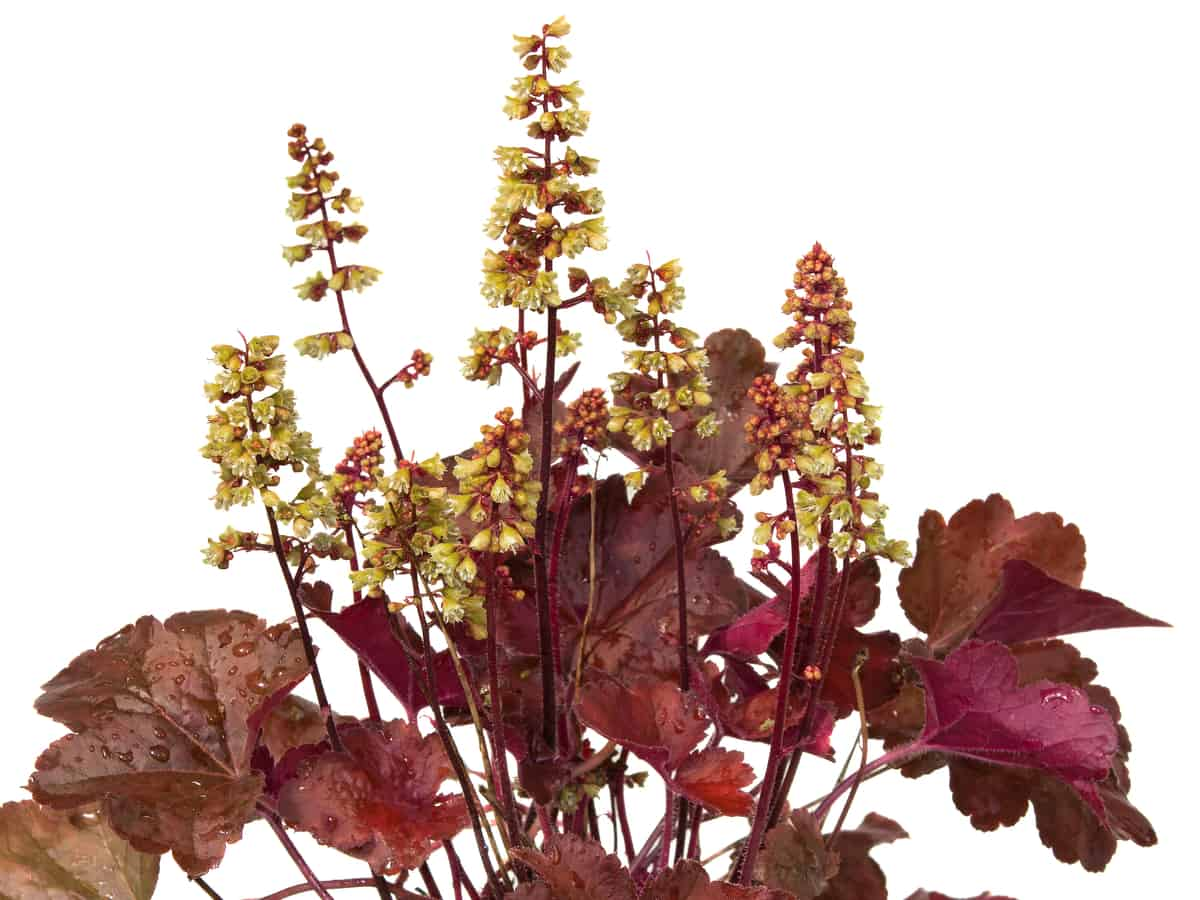 coral bells is ideal for a shady garden