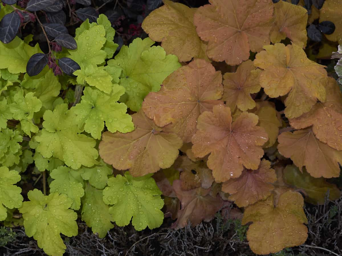 coral bells has attractive foliage from spring to fall