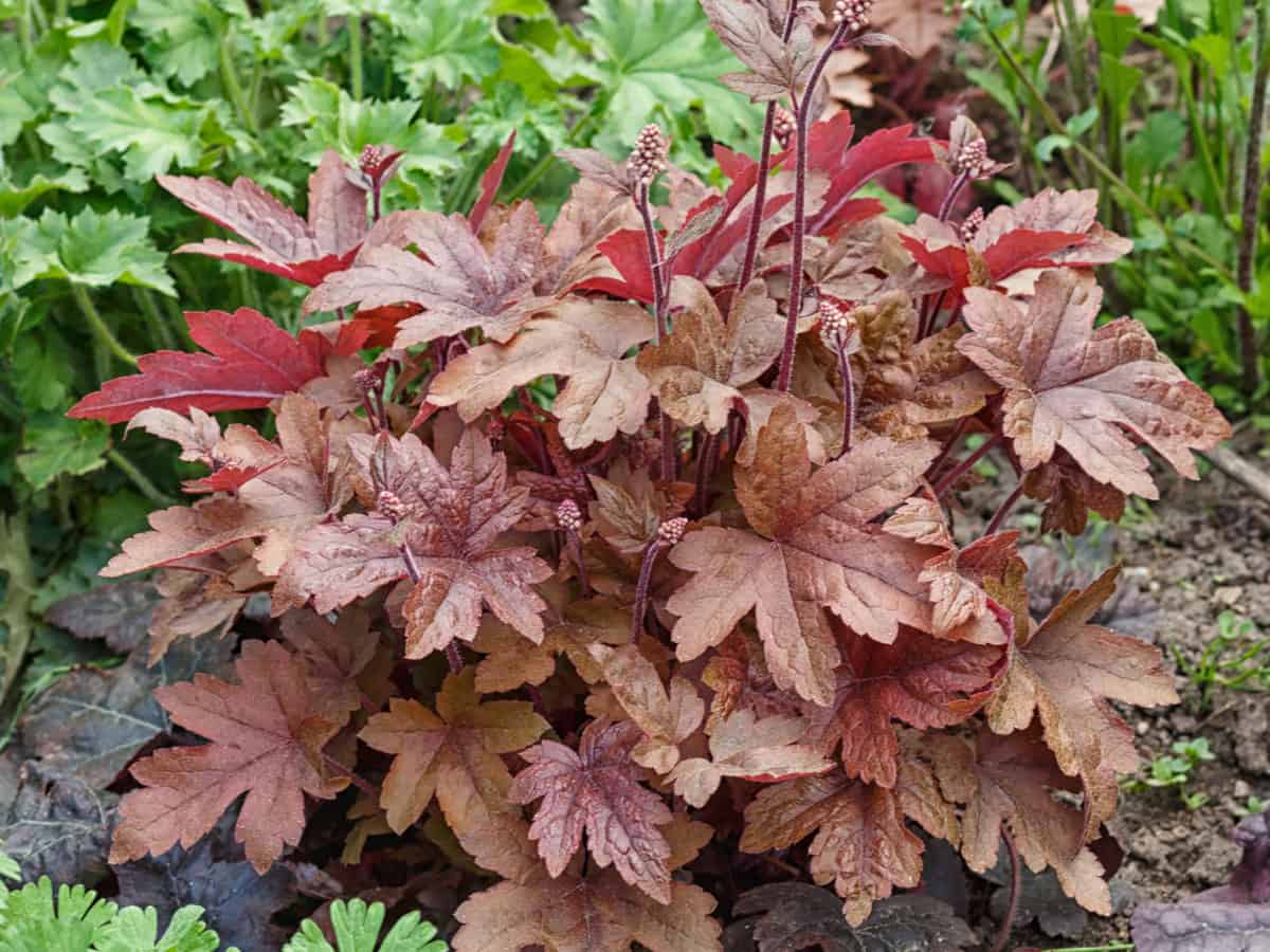 coral bells is a favorite shade-loving plant