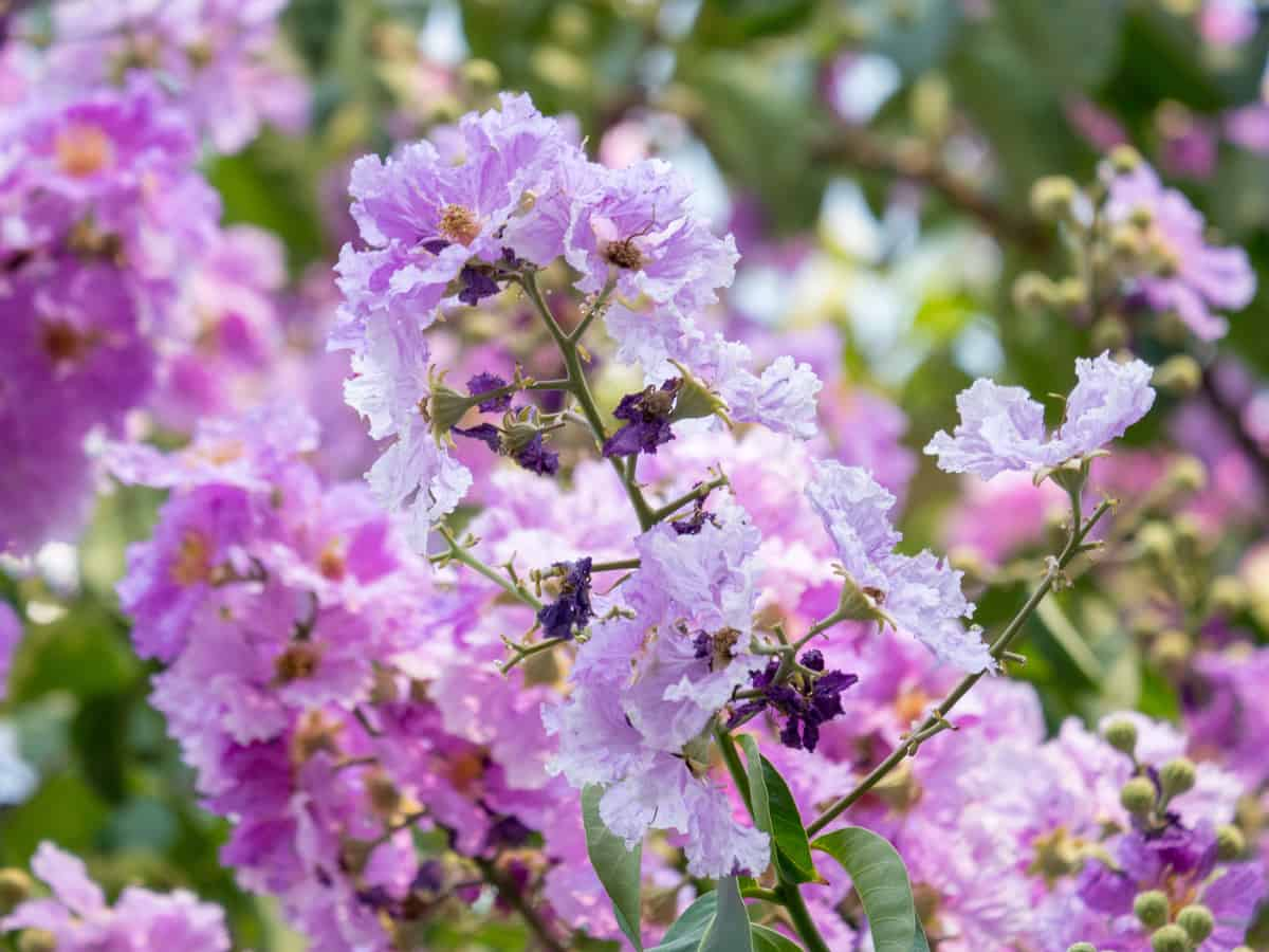 the crape myrtle loves hot, humid weather