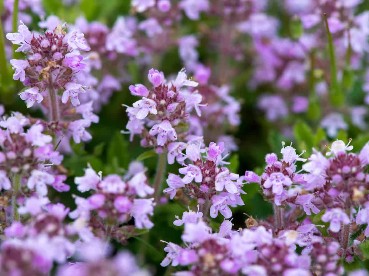 creeping thyme is a beautiful plant that only grows 3-4 inches tall