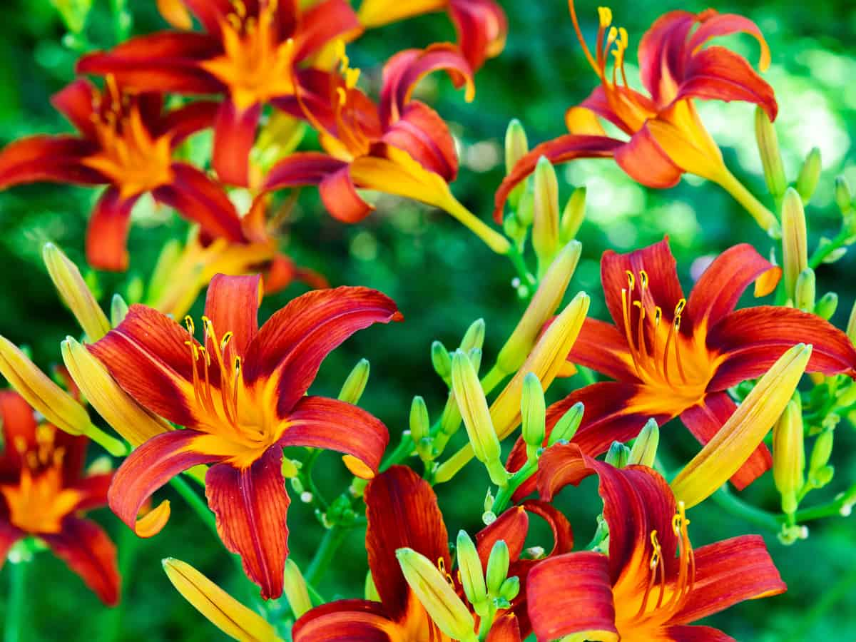 the daylily is a drought tolerant beauty