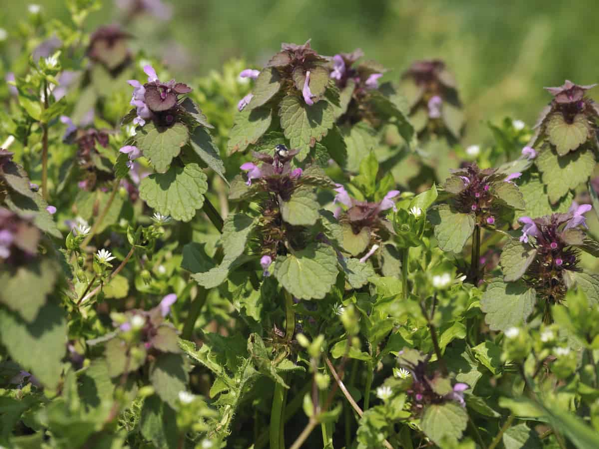 dead nettle is an excellent ground cover plant