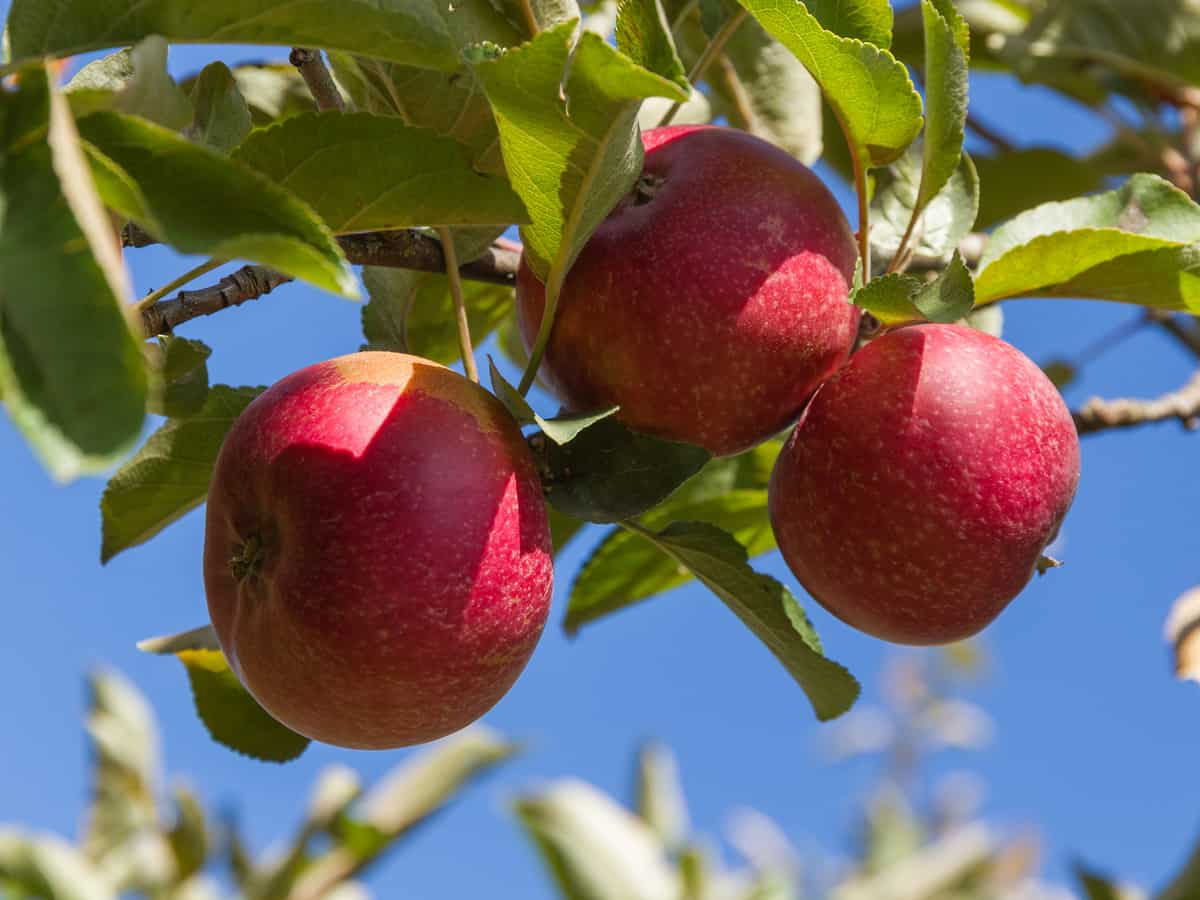 dwarf apple trees produce fruit faster than their larger counterparts