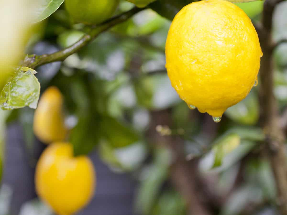 dwarf lemon trees provide fruit year-round