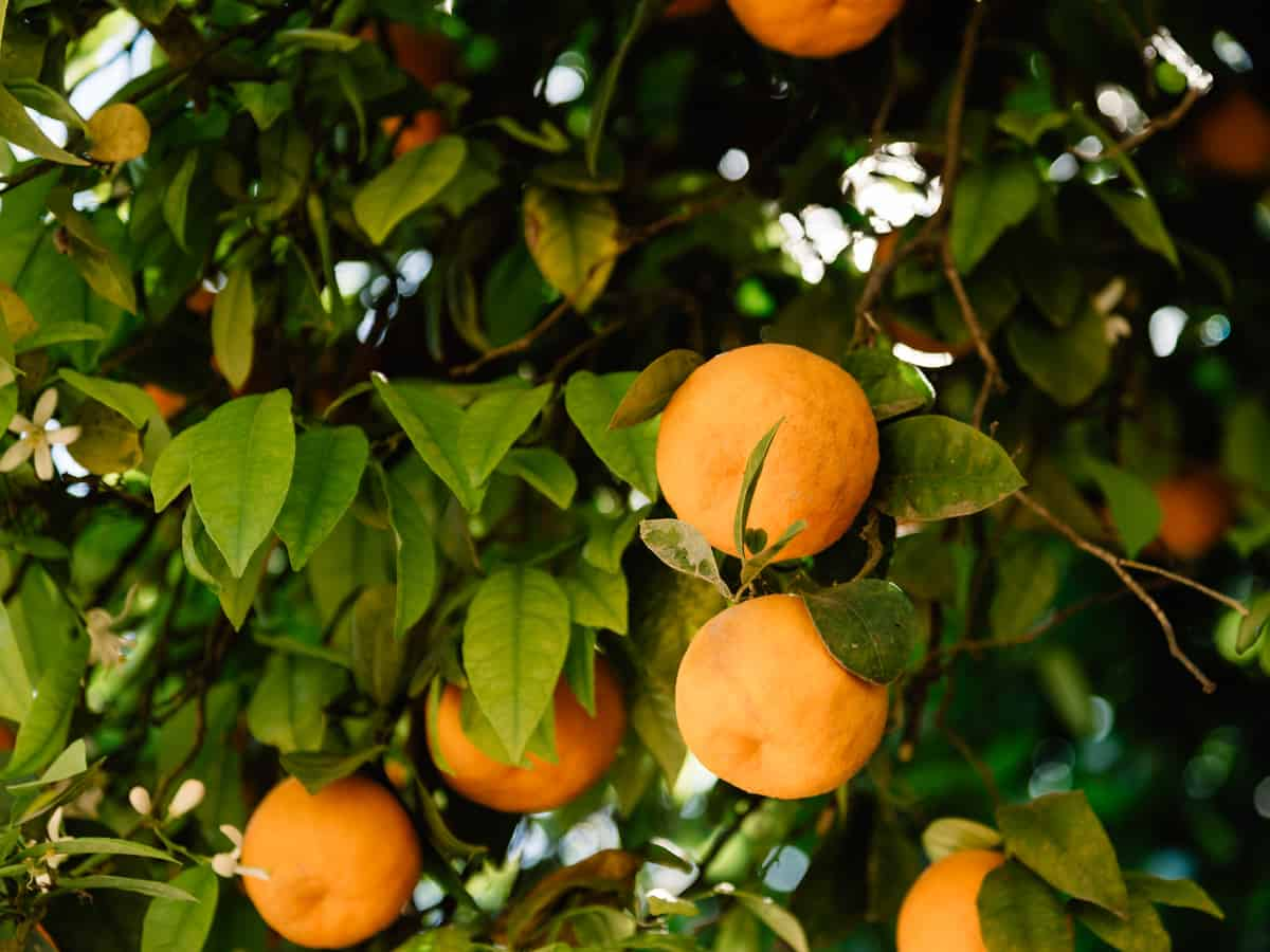 the dwarf orange tree is perfect for small spaces like patios