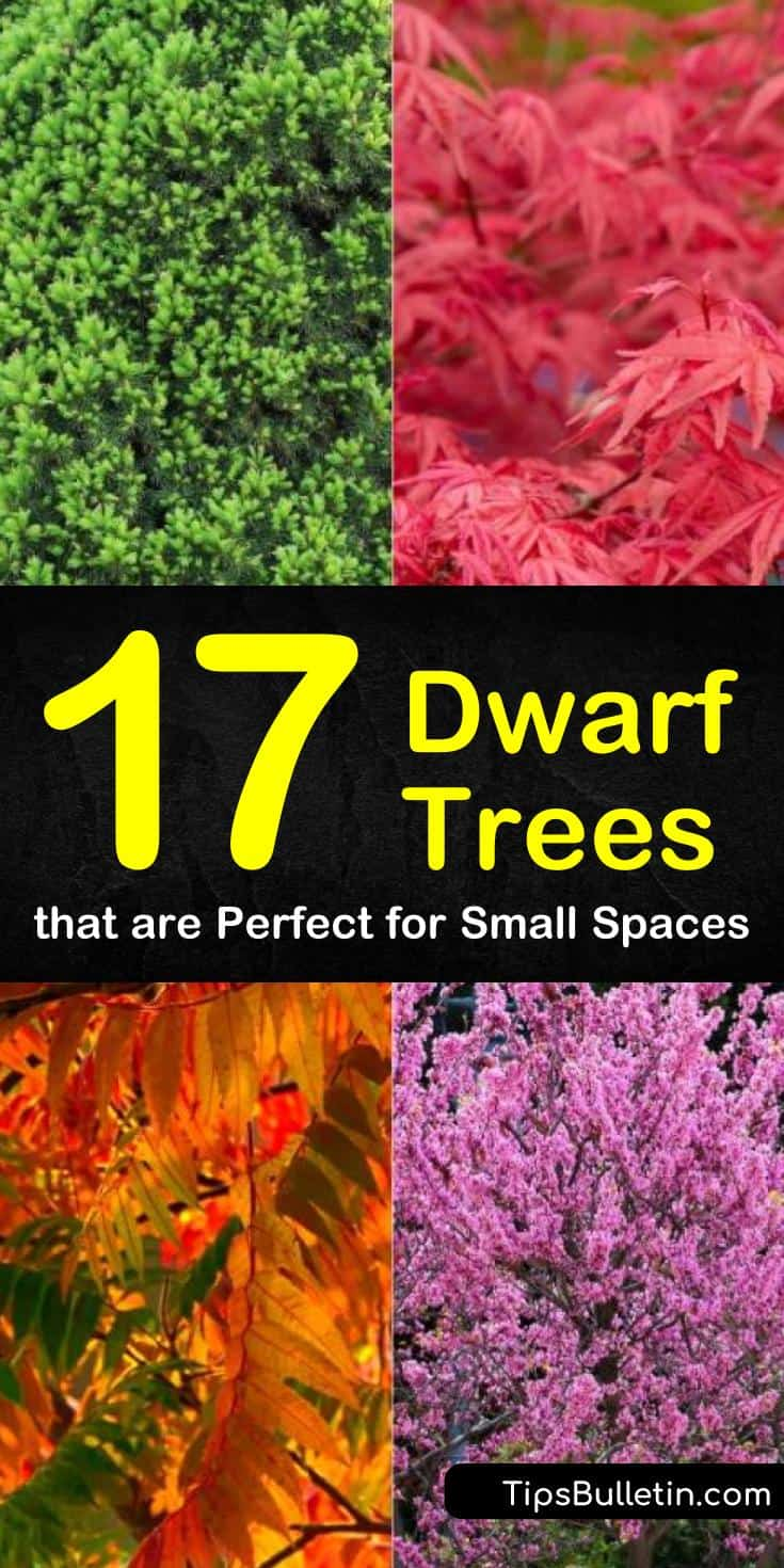 Discover 17 new dwarf trees perfect for small spaces and porches. Find out which plants can be used for hedges in landscaping, ornamental gardening, or can be grown in pots. Choose from dwarf flowering trees, vibrant evergreens, or yummy trees that produce fruit. #dwarf #trees #evergreen #flowering