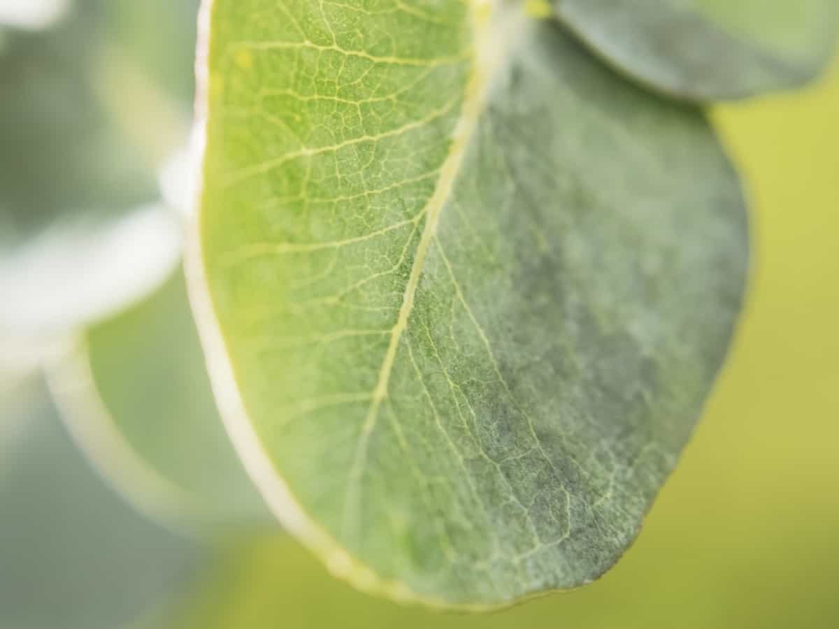 eucalyptus requires a consistent environment to thrive