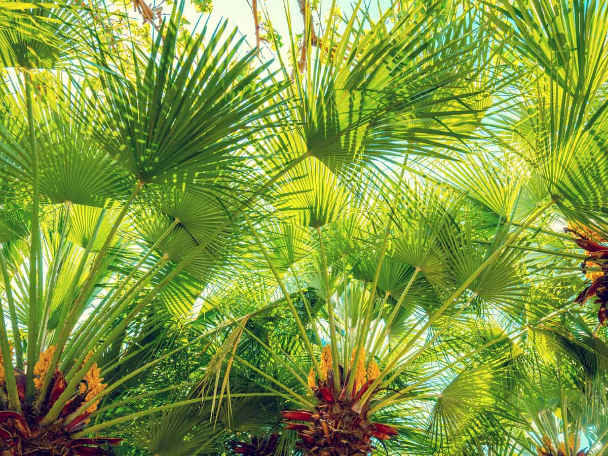 the European fan palm tree is a tropical plant that is a slow grower