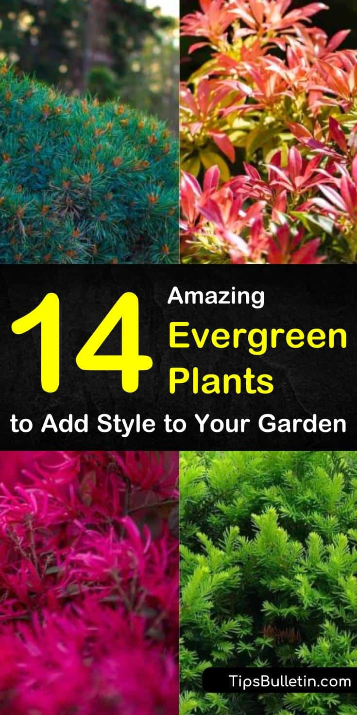Find out which evergreen plants are best for full sun, for shade, for pots outdoors, and for indoor planting. We show you landscaping ideas for drought-tolerant shrubs and perennials that will stay green all winter. #landscaping #evergreens #plants