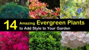 evergreen plants titleimg1