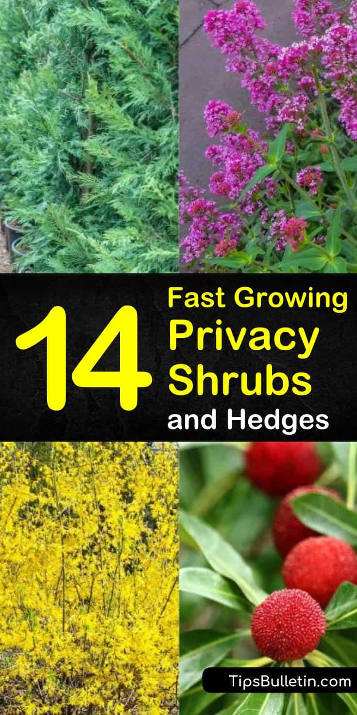 Find 14 different fast growing privacy shrubs for your backyards. Discover which plants are perfect as hedges or for shaded areas. Try any of these amazing drought tolerant plants, hedges, and plants with yellow, pink, or white flowers for your home. #fast #growing #privacy #shrubs #hedges