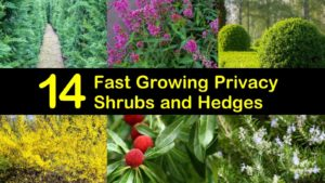 fast growing privacy shrubs titleimg1