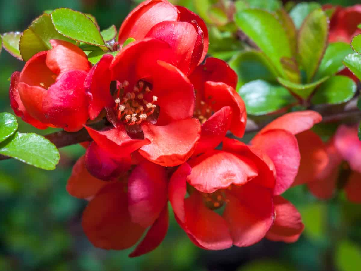 flowering quince tolerates shade but prefers the sun
