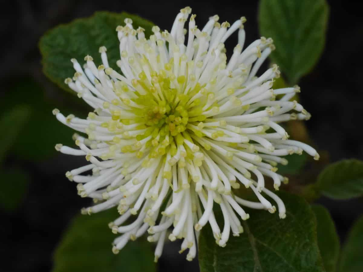 fothergilla is a shady shrub that has long-lasting blooms