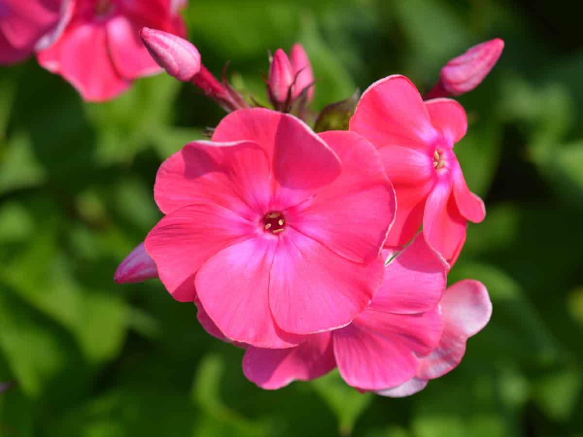 garden phlox offers an extending blooming time