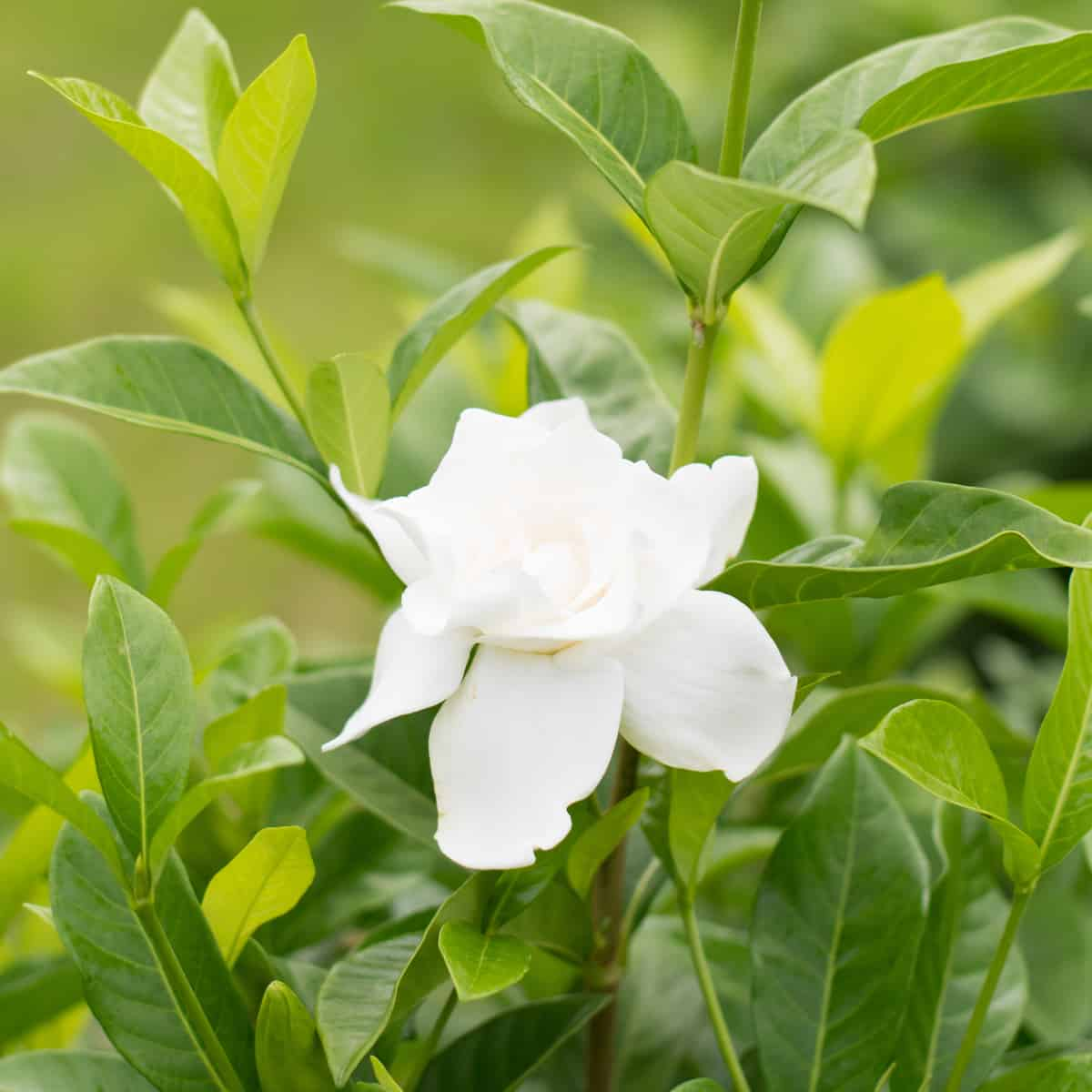 gardenias need a lot of sun whether you plant them indoors or out
