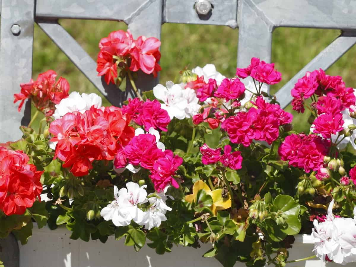 the geranium is ideal for a hanging basket