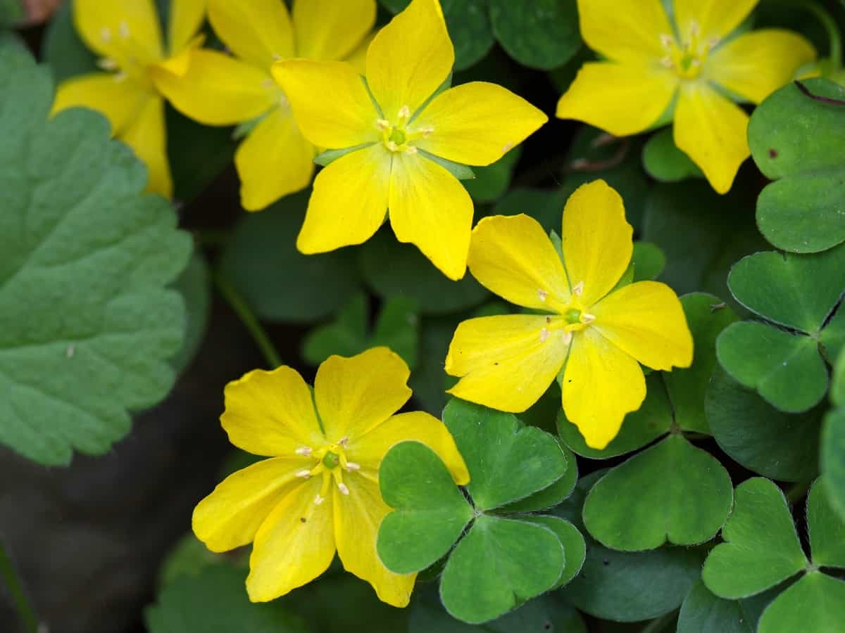 golden creeping Jenny is fast growing