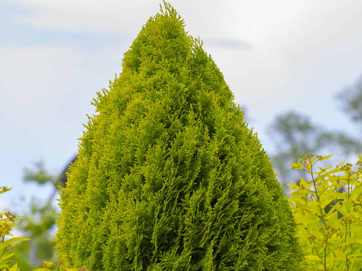 green giant arborvitae is a fast growing privacy shrub