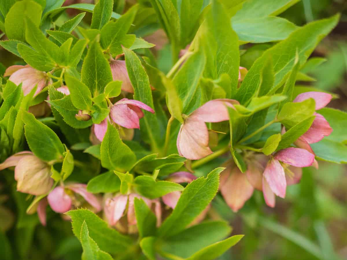 hellebore fits right in perennial gardens
