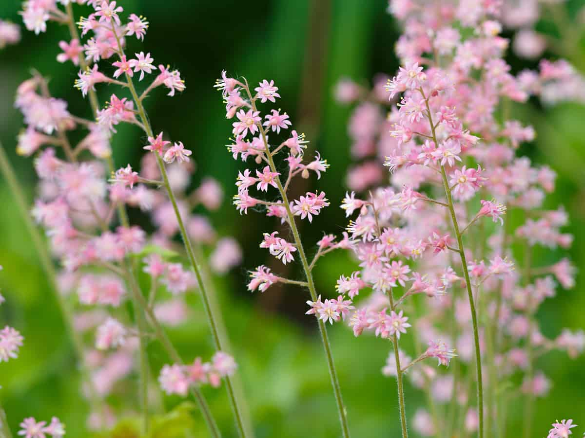 Coral Bells is a beautiful outdoor plant