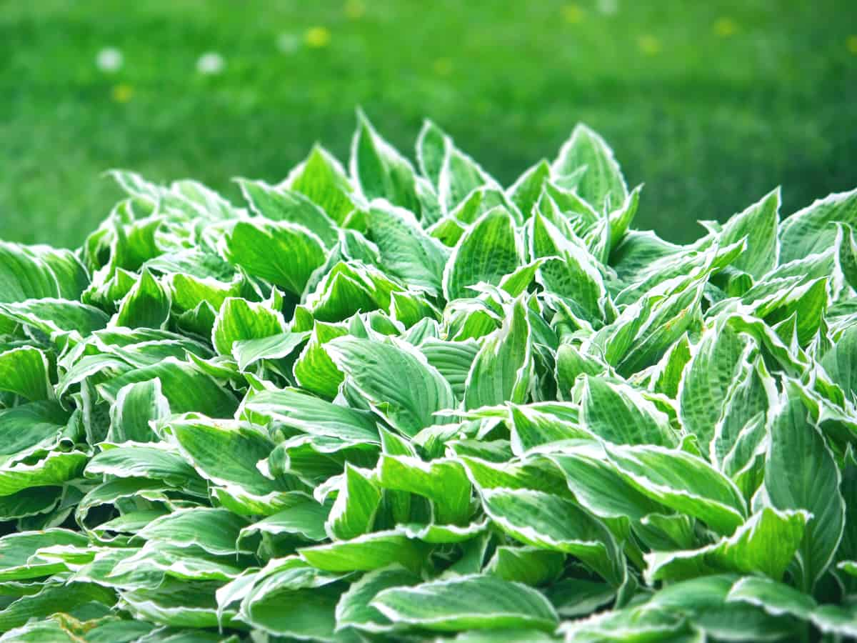 hosta is a beautiful plant for shade