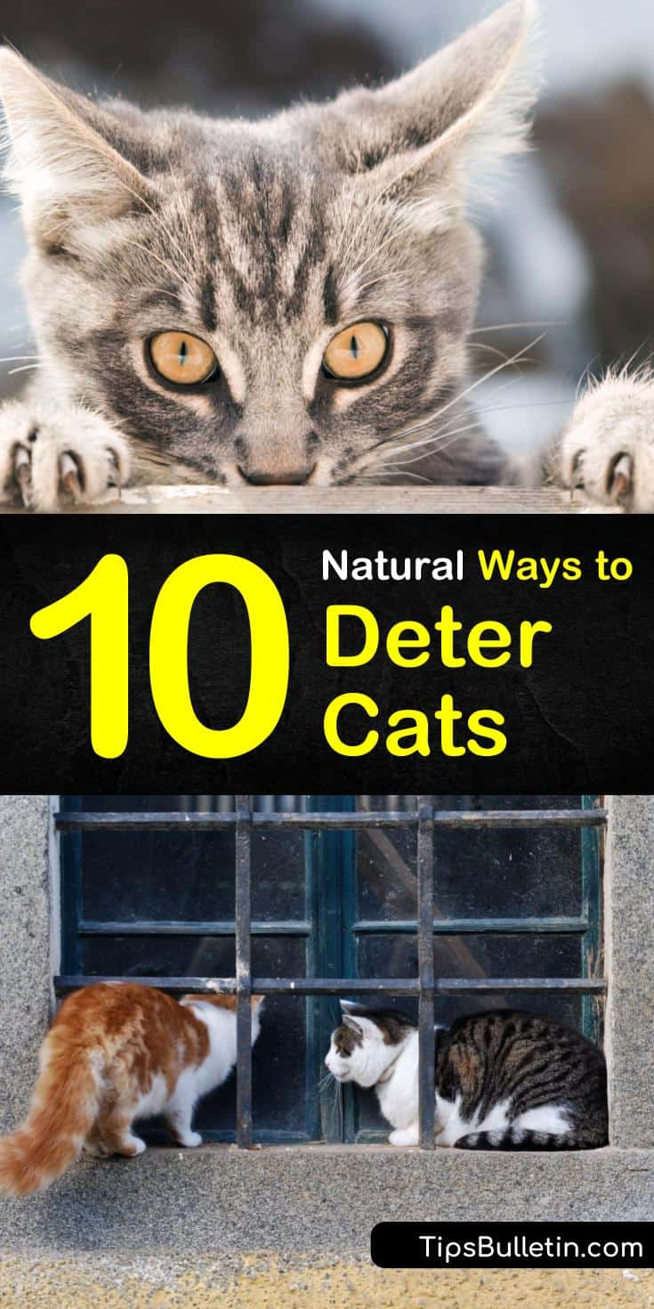 Not all pet lovers want the neighborhood cats invading their yards. If you want to deter cats, dogs, and other animals from your yard there are several things you can try from using essential oils to planting specific plants in your gardens. #cats #naturalcatdeterrent #repelcats