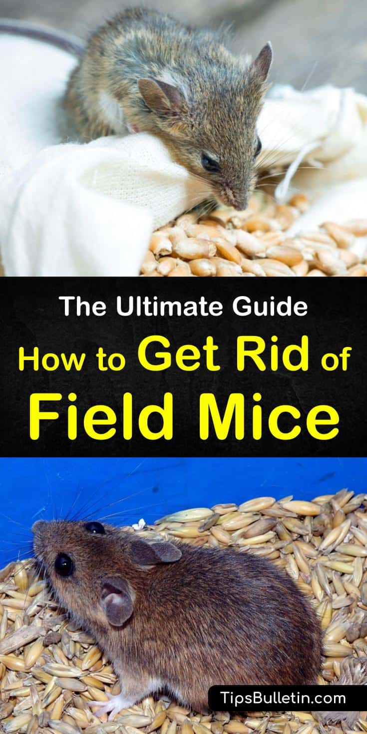 Learn how to get rid of field mice before they take over your home. We will teach you how to use several different methods that deliver amazing results. #fieldmice #pestcontrol #getridofmice