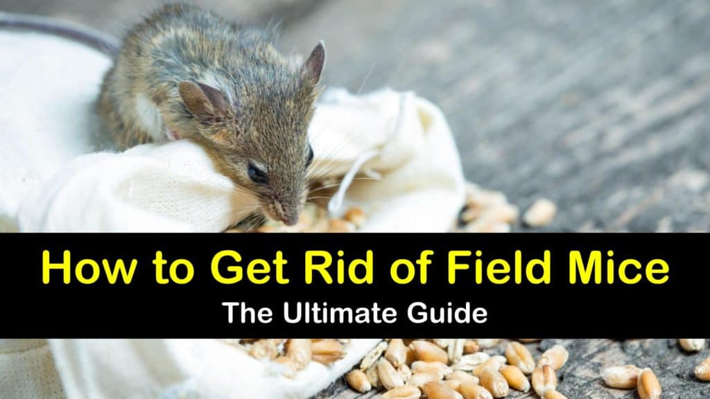 How to Get Rid of Field Mice - The Ultimate Guide