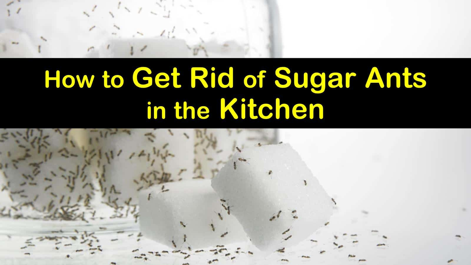 How to Get Rid of Sugar Ants in the Kitchen