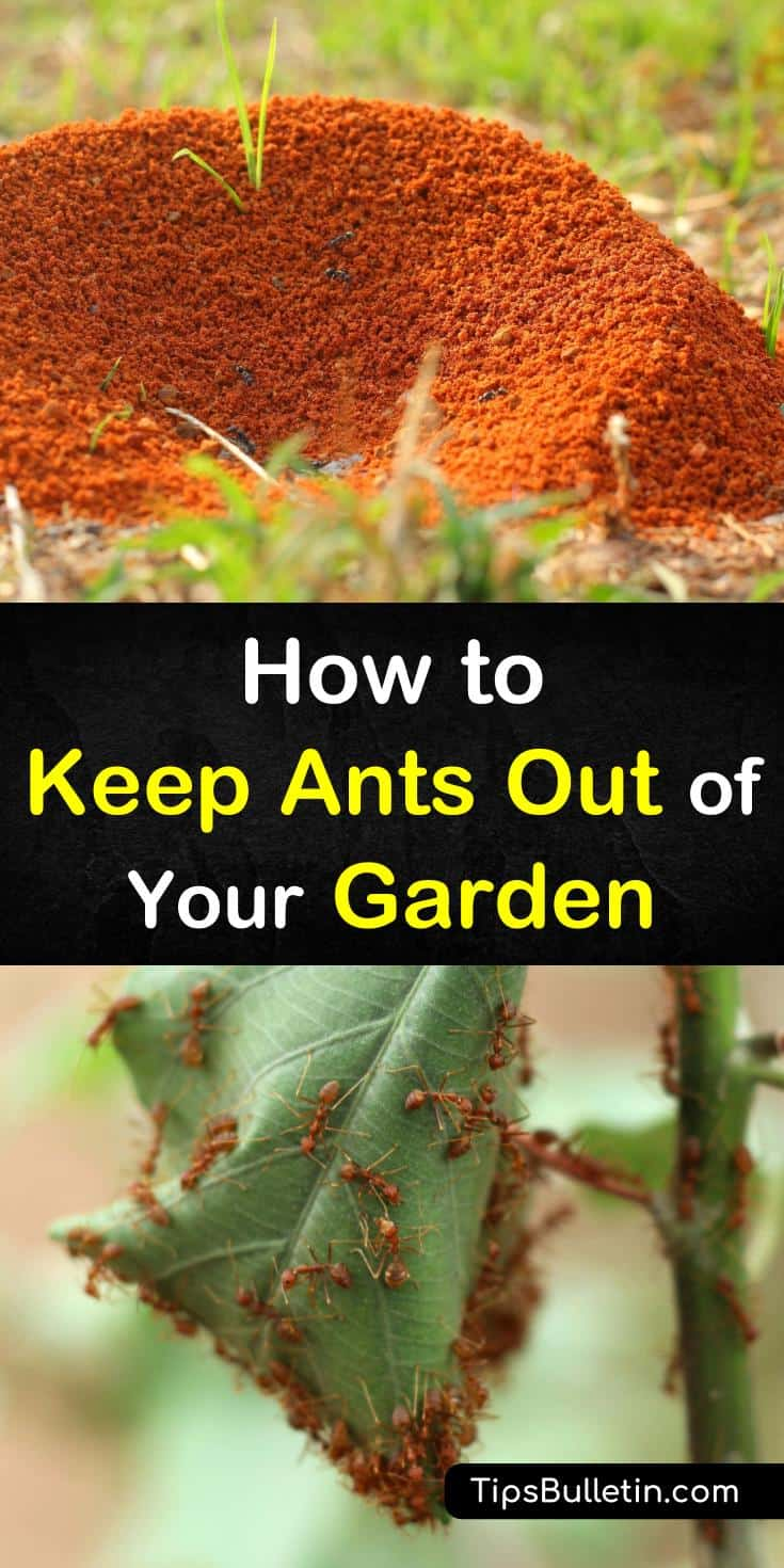 Find out how to keep ants out of your garden the natural way. Our guide shows you how to get rid of ants at home using items found in the house such as sugar, water, and essential oils. We show you how to employ pest control and still keep your plants and pets safe. #ants #keep #out #garden