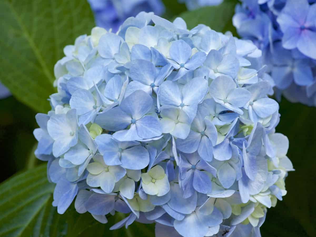 hydrangeas are well known low light outdoor plants