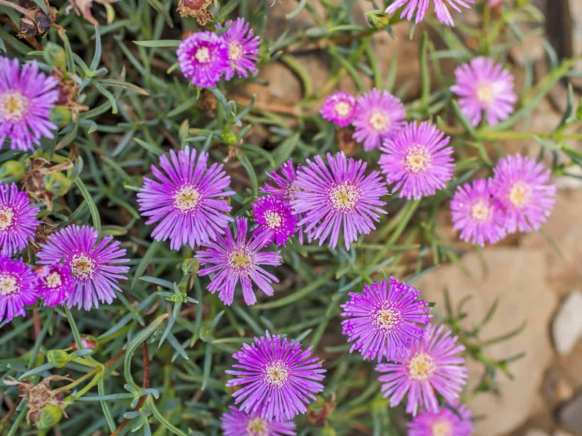 ice plant is a fast growing ground cover perfect for a rock garden