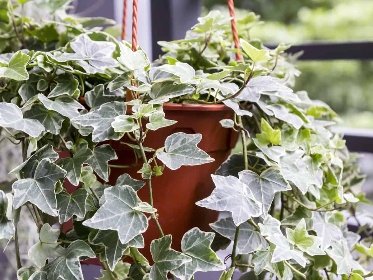 ivy is an evergreen perennial plant