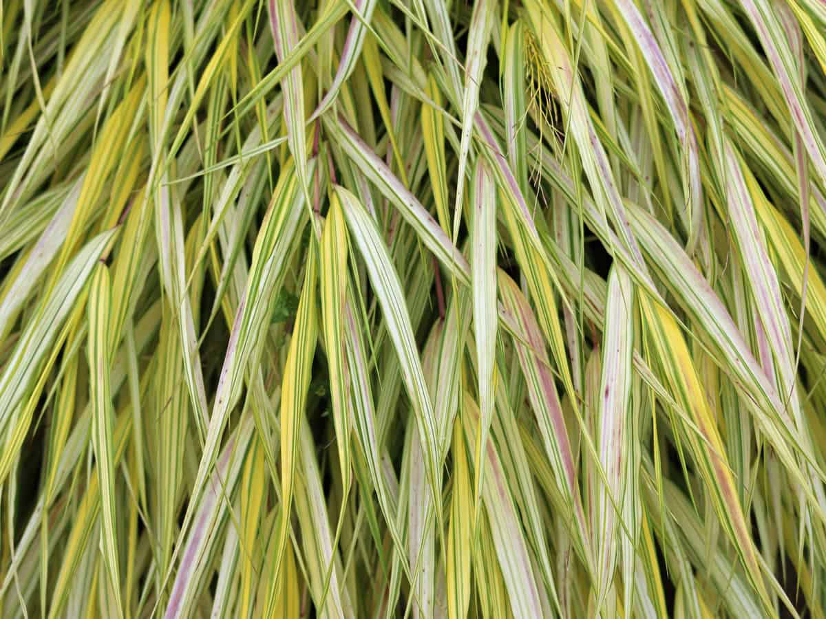 Japanese forest grass is an exotic perennial for shade