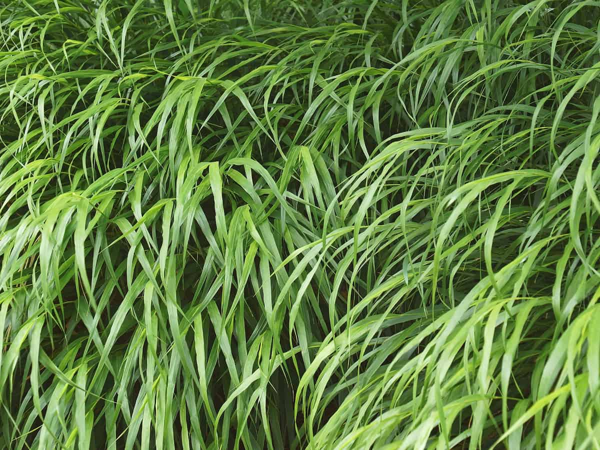 Japanese forest grass likes partial rather than full shade