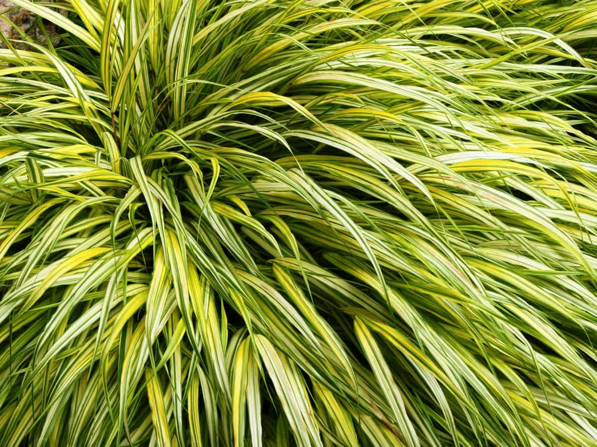 Japanese forest grass is an ornamental that looks great in the shade