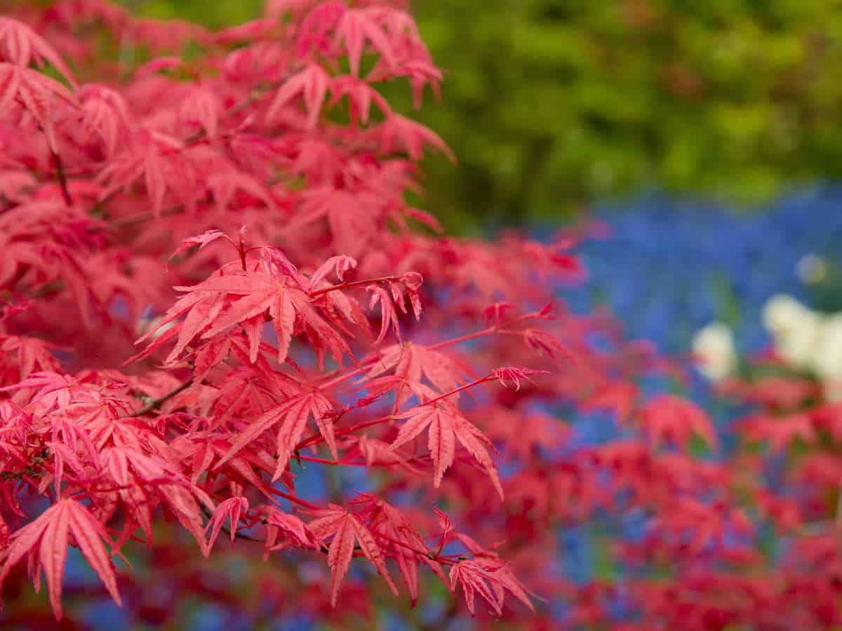 the Japanese maple is suited for small spaces indoors and out