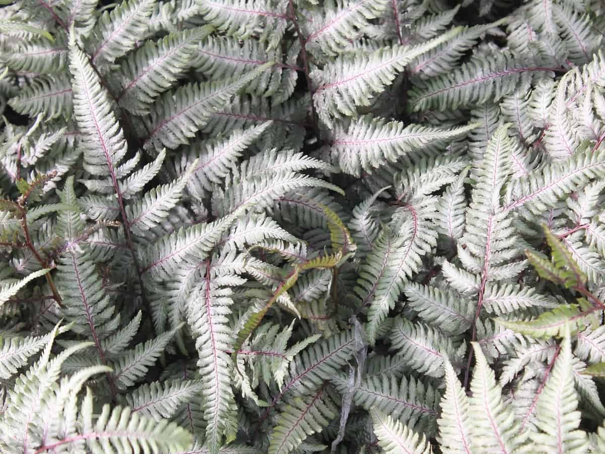 the elegant Japanese painted fern comes in a variety of colors