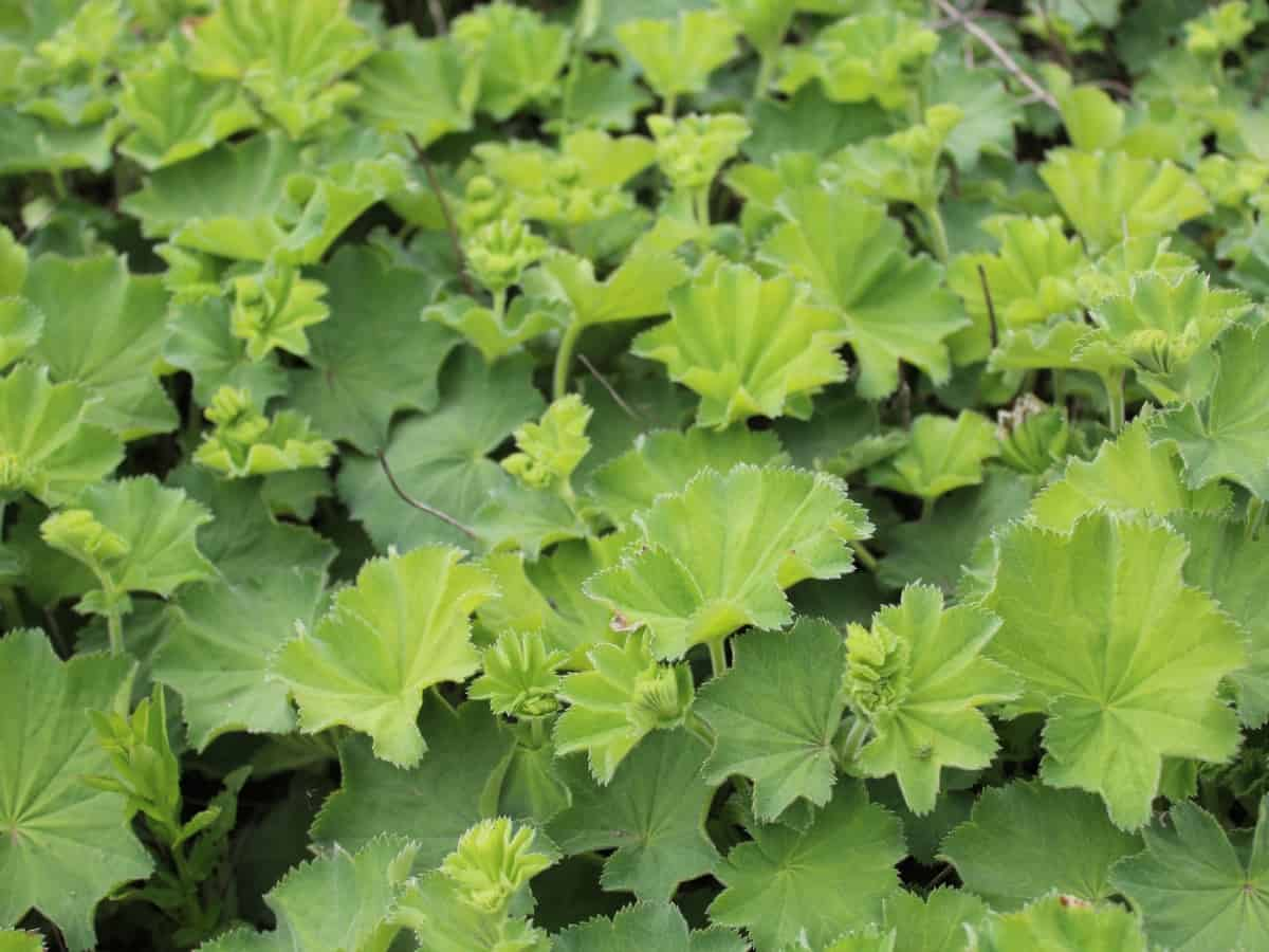 lady's mantle has pretty leaves and flowers