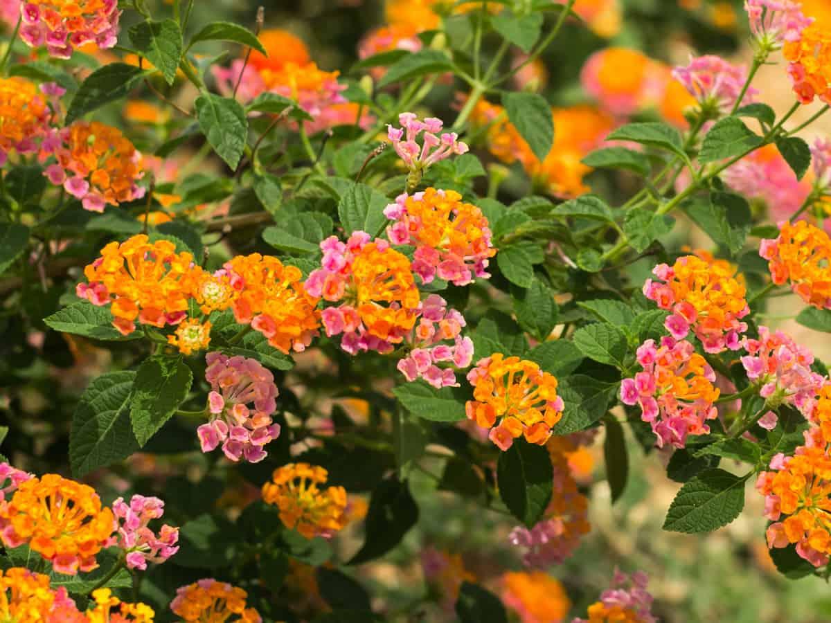 lantana has small bright flowers