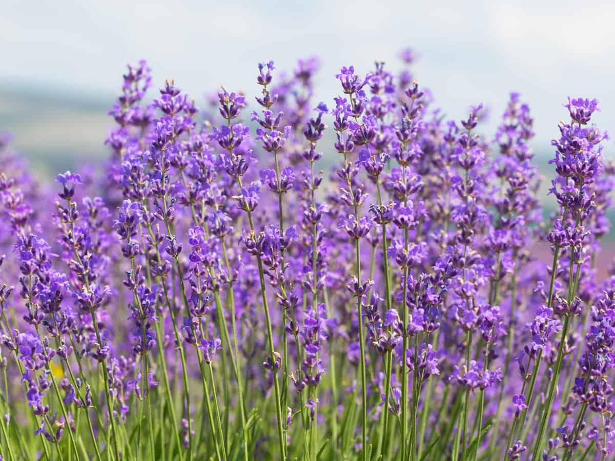 lavender is a favorite perennial