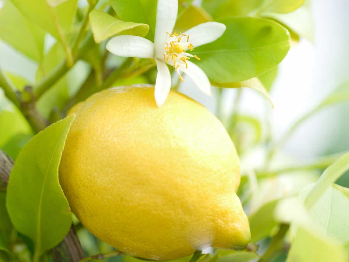 the sweet lemon tree smells like Heaven