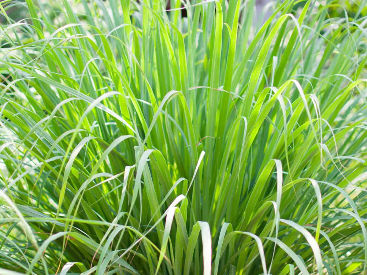 lemongrass can be used as a natural mosquito repellent