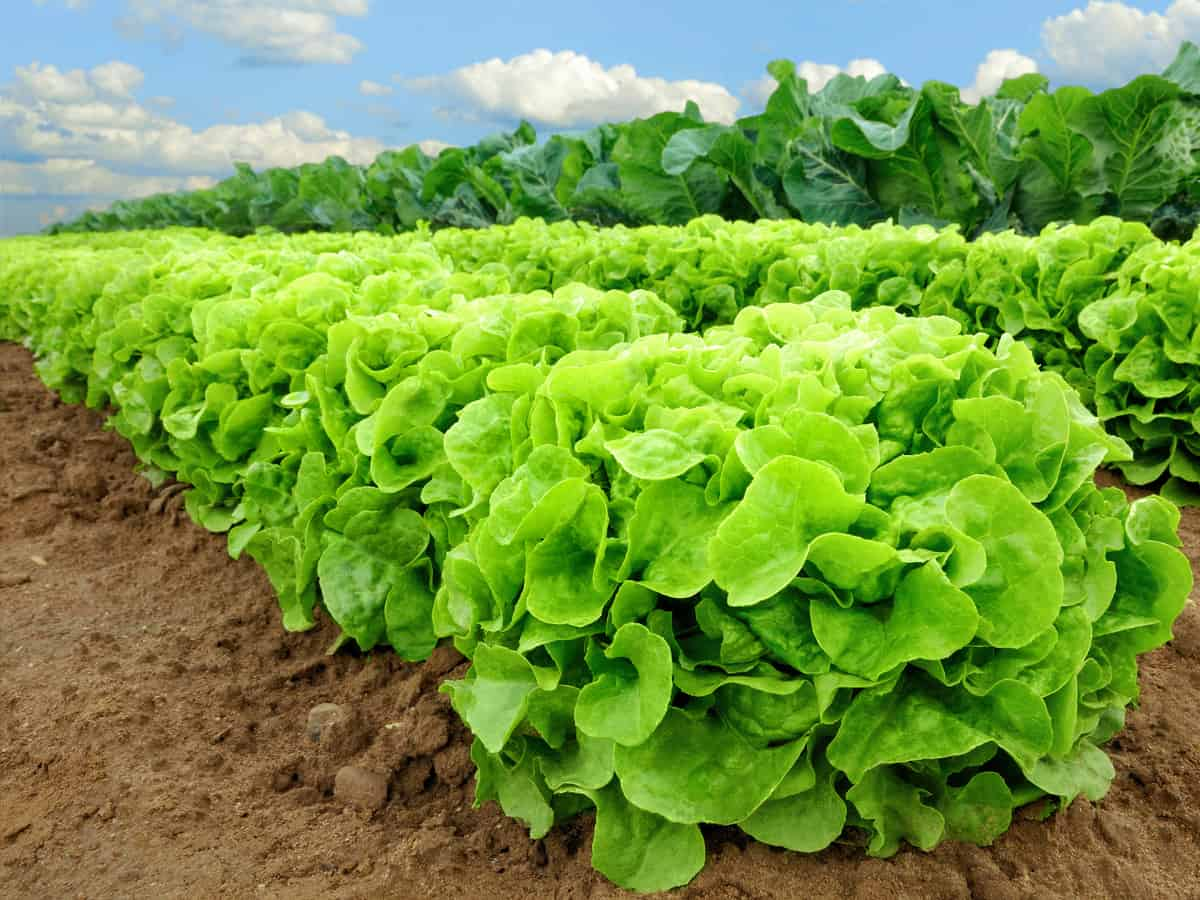 growing lettuce is easy