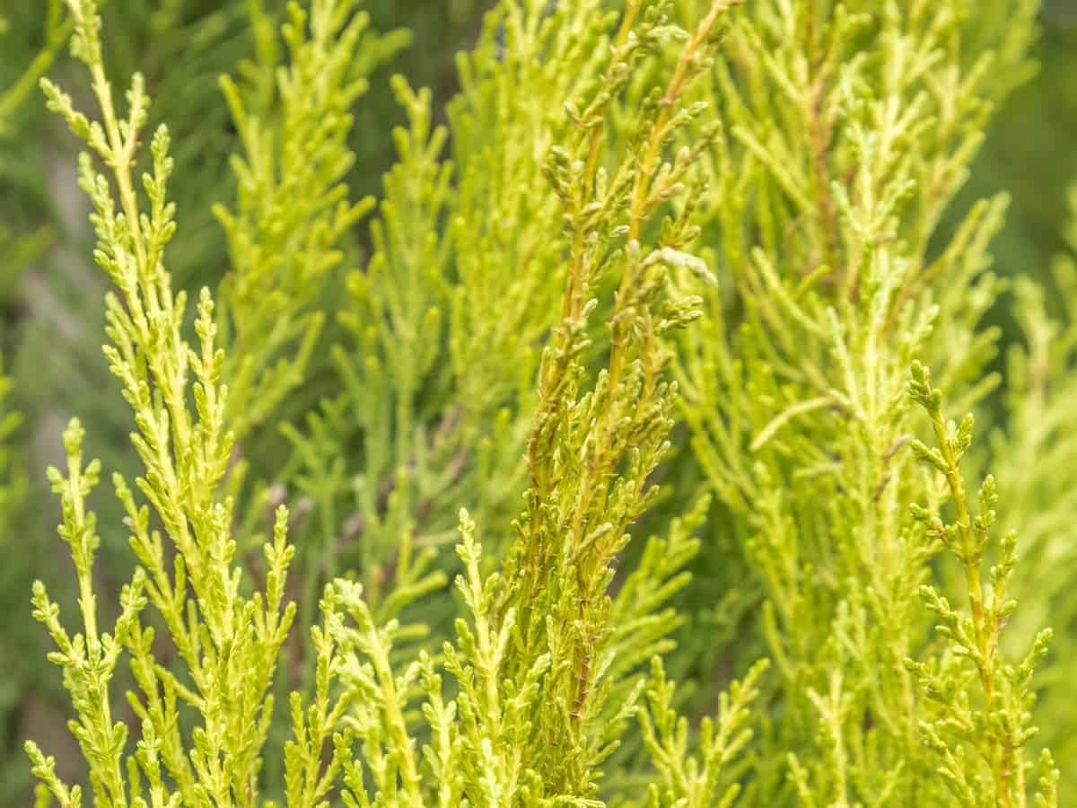 Leyland cypress is a shrub that offers a quick privacy hedge