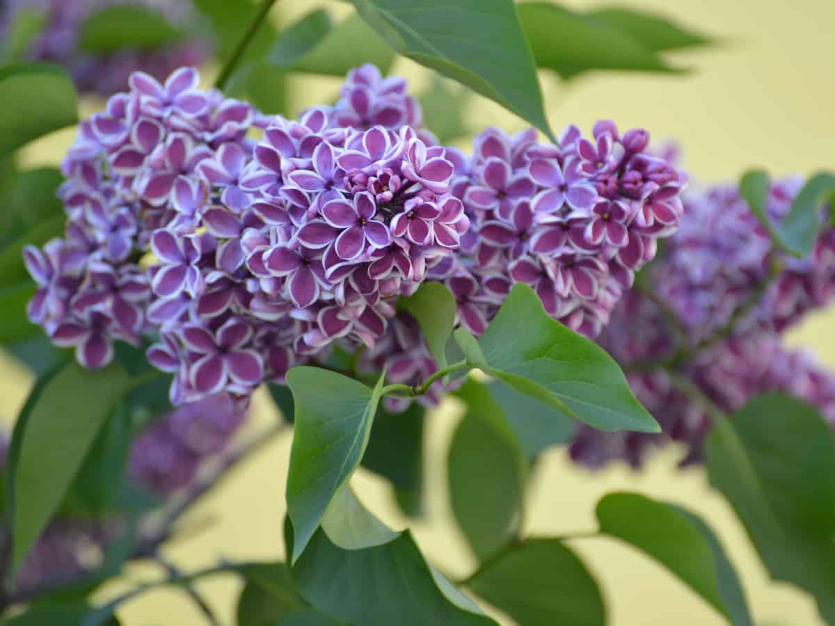 the lilac is a flowering hedge plant